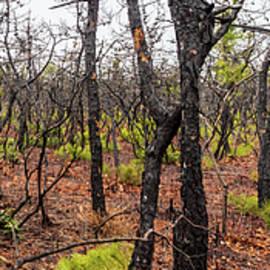 Pygmy Pines Photograph by Louis Dallara