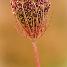 Queen Anne's Lace by Venetia Featherstone-Witty