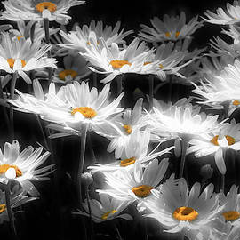 Radiant Daisies by Donna Kennedy