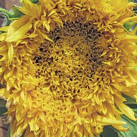 Ragged Sunflower by Kim Tran