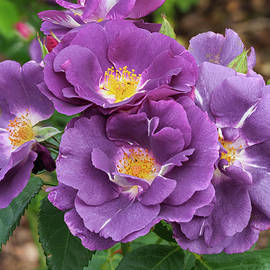 Rhapsody in Blue Roses by Angie C
