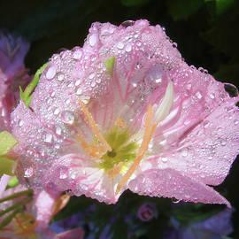 Rain-Drenched Oenethera by Daniel Beard