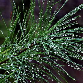Rain Drops on Pine Branch Needles by Lyuba Filatova