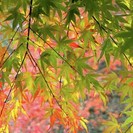 Rainbow of Maples by Debra Orlean
