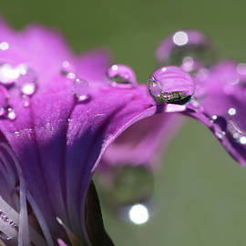 Raindrops on Dianthis by Lori Deiter