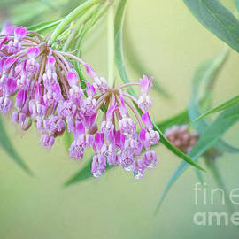 Raindrops On Pink Milkweed by Sharon McConnell