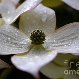 Raindrops on White Kousa Dogwood by Debra Banks