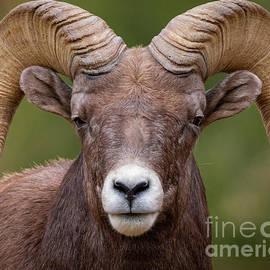 Ram Portrait by Dlamb Photography