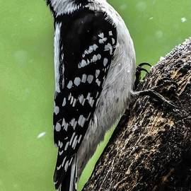 Ramrod Straight Downy Woodpecker by Cindy Treger