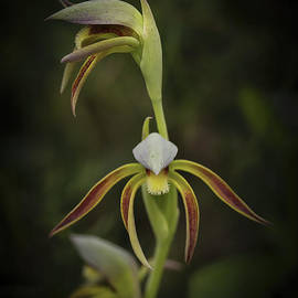 Rattle Beak Orchid by Elaine Teague