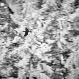 Ravens.... Flying... Urban wildlife by Guido Montanes Castillo