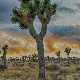 Reach for the Sky - Joshua Tree by Stephen Stookey