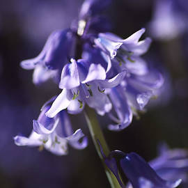Reaching Bluebells by Joy Watson