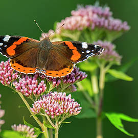 Red Admiral Butterfly on Hemp Agrimony by Arterra Picture Library