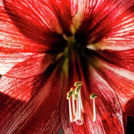 Red Amaryllis Closeup by Francis Sullivan