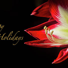 Red Amaryllis Holiday Greeting Card by Francis Sullivan