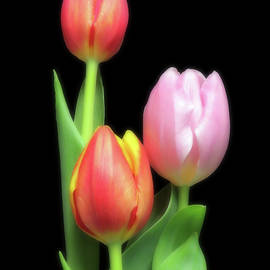 Red And Pink Tulips by Johanna Hurmerinta
