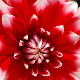 Red And White Dahlia Circles  by Joy Watson