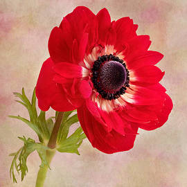 Red Anemone by Denis O' Reilly