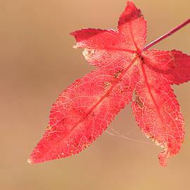 Red Autumn Leaf by Karen Rispin