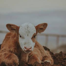 Red Baldy Calf by Riley Bradford