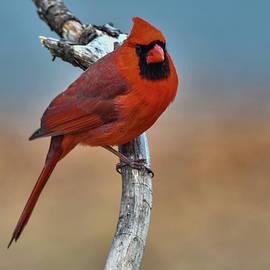 Red Bird by Cathy Kovarik