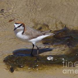 Red Capped Plover - charadrius ruficapillus by Lesley Evered