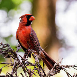 Red Cardinal Bird Perched on Dead Tropical Bromeliad Flowers by Phillip Espinasse