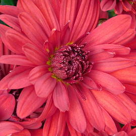 Red Chrysanthemum by Atlas Tracer
