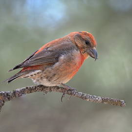Red Crossbill by Carl Bendorf