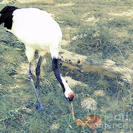 Red Crowned Crane and Chick