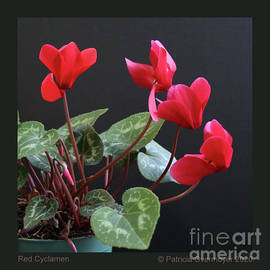 Red Cyclamen by Patricia Overmoyer