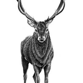 Red deer stag drawing by Loren Dowding