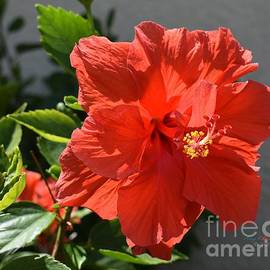 Red Double Hibiscus 2 by Gary F Richards