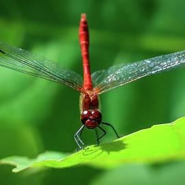 Red dragonfly by Anita Gendt van