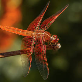 Red Dragonfly on Branch by Jean Noren