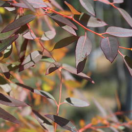 Red Eucalypt Leaves by Michaela Perryman