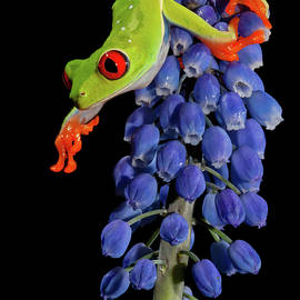 Red Eye Tree Frog Reaching by Jerry Fornarotto