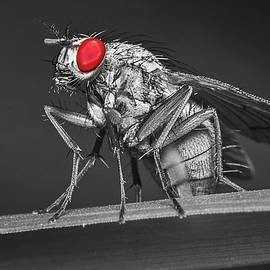 Red-eyed Fly by Ally White