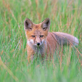 Red Fox Camouflage by Matthew Alberts
