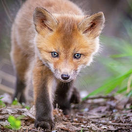 Red Fox Curiousity by Matthew Alberts