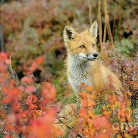 Red Fox in Autumn Foliage near Denali National Park by Tom Schwabel