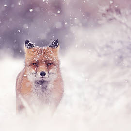 Red Fox in the Snow Series - A Fox Fantasy by Roeselien Raimond
