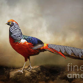 Red Golden Pheasant by Kathy Kelly