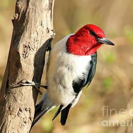 Red Headed Woodpecker 250 by Steve Gass