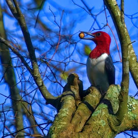 Red Headed Woodpecker by Bellesouth Studio