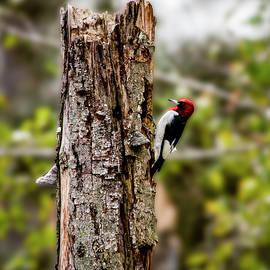 Red Headed Woodpecker by Daniel Hebard