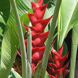 Red Heliconia Caribea by Mary Deal
