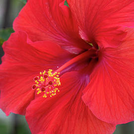Red Hibiscus Closeup by Karen Rispin