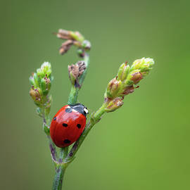Red ladybug insect sitting on flower by Millenn